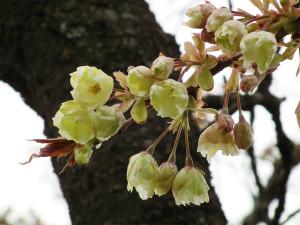 yellow_blossom